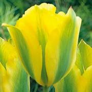 Тюльпаны Хамминг Берд
