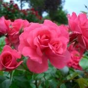 Розы Бэд Бирнбах