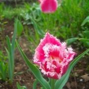 Тюльпаны Белль Сонг