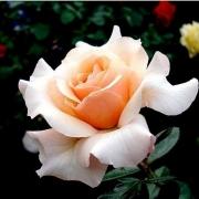Розы Маржолаине