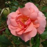 Розы Бетти Апричард