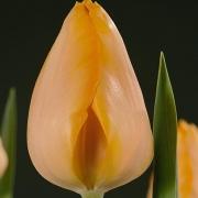 Тюльпаны Бестселлер