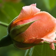 Розы Скулгерл