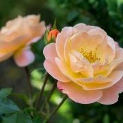 Розы Седана