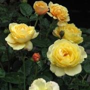 Розы Гене Тирни