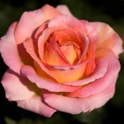 Розы Эль