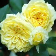 Розы Тет дэ Ор