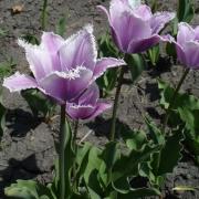 Тюльпаны Виолет Мист