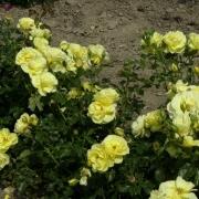 Розы Голдшатц