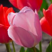Тюльпаны Мистик Ван Эйк