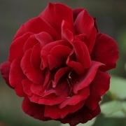 Розы Ля Руж э ле Нуар
