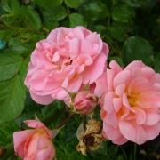 Розы Банкет