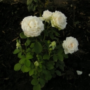 Розы Марвеллоус