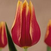 Тюльпаны Либера