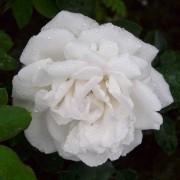 Róże Frau Karl Drushki