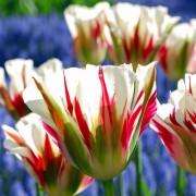 Тюльпаны Флеминг Спрингрин