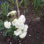 Розы Флора Романтика