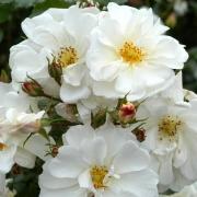 Розы Диамант
