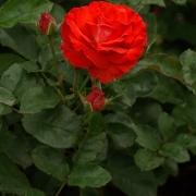 Розы Кадиллак