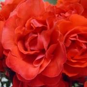 Розы Скарлет Квин Елизабет