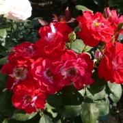 Розы Пируэтт