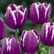 Тюльпаны Синаеда Блю