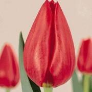Тюльпаны Омега