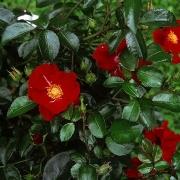 Розы Алькантара