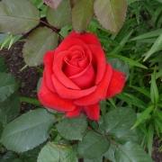 Розы Кардинал 85