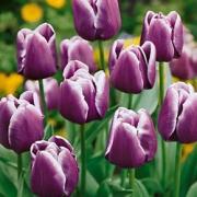 Тюльпаны Арабиан Майстери