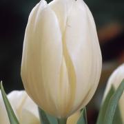 Тюльпаны Винтерберг