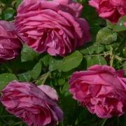 Розы Мадам Исаак Перрье