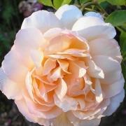 Розы Мадам Пол Массад
