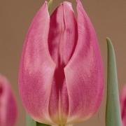 Тюльпаны Секрет Лав