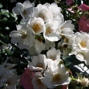 Розы Венеция