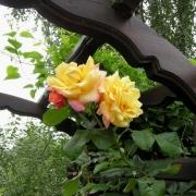 Розы Мунлайт