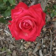 Розы Нью Ревью