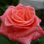 Розы Гармония