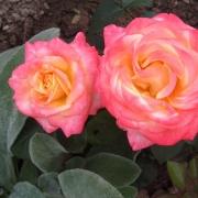 Розы Тринидад