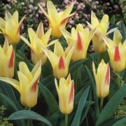 Тюльпаны Иоганн Штраус