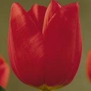 Тюльпаны Мартин Бил