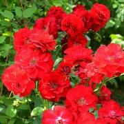 Roses Abendglut