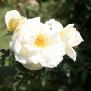 Розы Айвори Фэшн