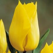 Тюльпаны Скайлайн