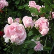 Розы Бернд Веигел Роуз