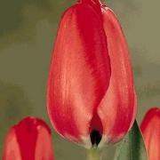 Тюльпаны Ред Матадор