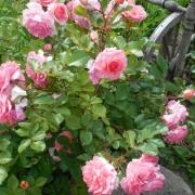 Розы Дрим Уивер