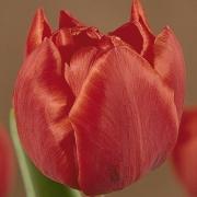 Тюльпаны Каструп