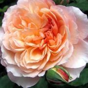 Розы Андре Туркат