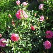 Розы Цвергконигин 82